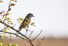 Red-backed Shrike (Lanius Coll...
