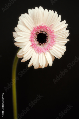 Foto op Plexiglas Gerbera Portrait of pastel rosa gerbera flower on the black background
