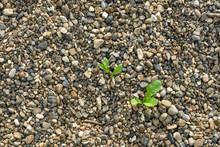 Weed Is Growing Through Rocks....