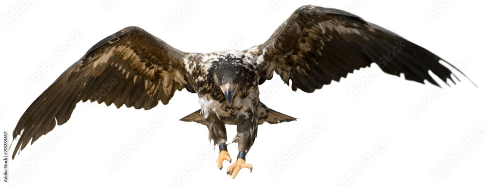 Fototapeta Young Buzzard Eagle Hunting