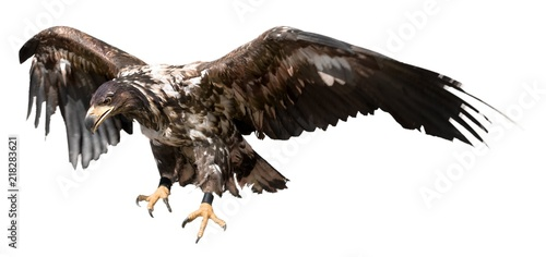 Photo  Young Buzzard Eagle Hunting