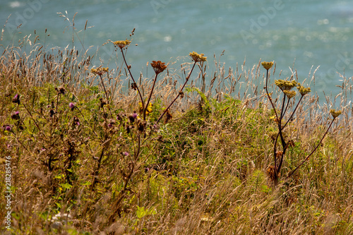Valokuva  Seaside Dried Grasses and flowers along the pacific northwest oregon coast in th