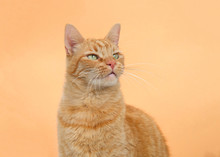 Portrait Of One Orange Tabby Ginger Cat On An Orange Background. Looking Up To Viewers Right With Copy Space.