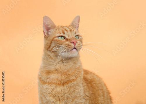 Fotografie, Obraz  Portrait of one orange tabby ginger cat on an orange background