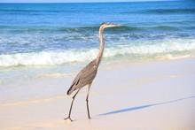 Great Blue Heron Walking Along...