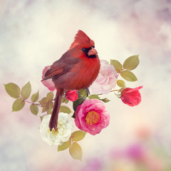 FototapetaMale Northern Cardinal with rose flowers