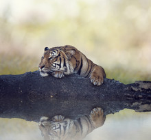 Bengal Tiger Resting On A Rock...