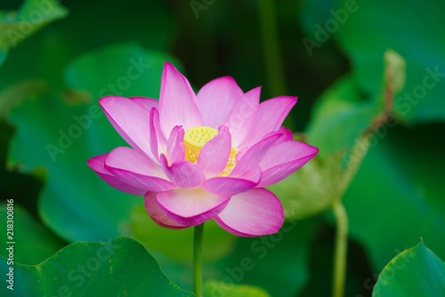 Foto op Canvas Lotusbloem Ancient Lotus blooms in the morning