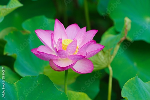 Staande foto Lotusbloem Ancient Lotus blooms in the morning