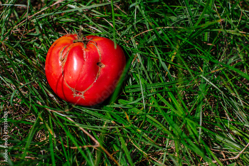 Photo Funny tomato lay in grass - Healthy food concept
