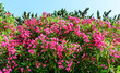 canvas print picture - Oleander Rosenlorbeer Pflanze