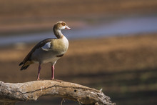 Egyptian Goose In Kruger Natio...