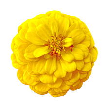 Flower Yellow Brown Zinnia Isolated On White Background. Close-up. Element Of Design.