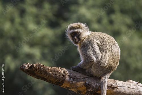 Fotografie, Obraz  Vervet monkey in Kruger National park, South Africa ; Specie Chlorocebus pygeryt