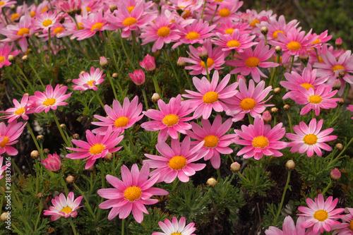 In de dag Candy roze ピンク色のデージー