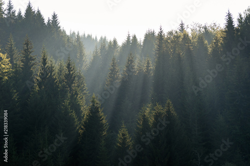 Foto auf Gartenposter Wald The sun rays in the haze fall through the branches of green firs and pines