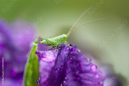 Spoed Foto op Canvas Iris Purple Iris In Morning Dew. Grasshopper On a Iris Flower.