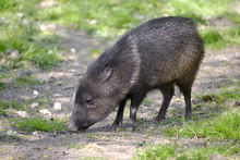Closeup Of Collared Peccary (P...