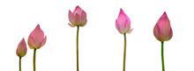 Collection Of Isolated Pink Lotus Bud On A White Background , A Beautiful Pink Lotus Bud From Thailand