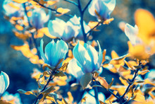 Blossoming Magnolia Flowers. Springtime. Blue Vintage Natural Flowers Background