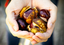 Ripe Chestnuts In Woman Hands.
