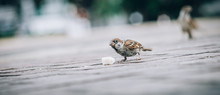 Sparrow Eating Bread Crumbs On The Street