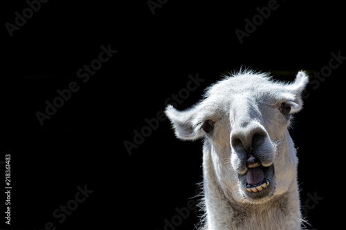 Foto op Plexiglas Lama Stupid looking animal. Goofy llama. Funny meme image with copy-space. Dumb animal with silly expression isolated against black background for customised message or text.