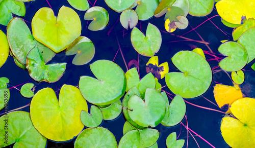 Foto op Plexiglas Waterlelies Leaves of lilies in the pond