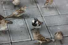 Sparrows Fighting Over Food