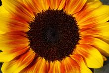 Portrait Of Sunflower In The Summer Garden