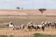Sheep Australia