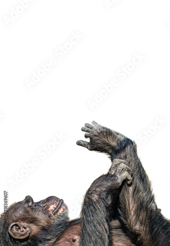Portrait of funny Chimpanzee playing with its foot at white background
