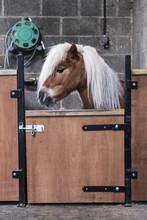 A Shetland Pony With A Long Bl...
