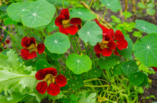 Bright Nasturtium Flowers With Green Colorful Leaves.