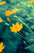Yellow Color  Cosmos In Park,vintage Filtered.