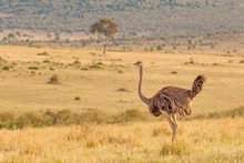 Side Profile Of Female Ostrich Standing In Dry Grass In Open Plain At Masai Mara National Reserve, Kenya