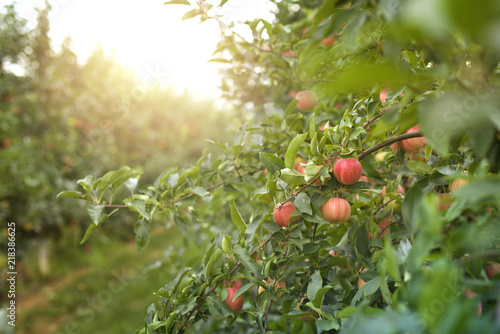 Fruit apple trees orchard in sunset.