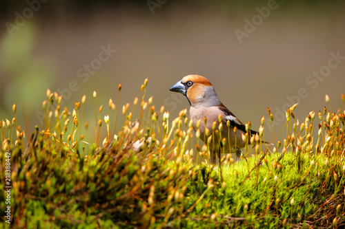 Fotografia, Obraz Hawfinch male in the forest of Noord Brabant in the Netherlands