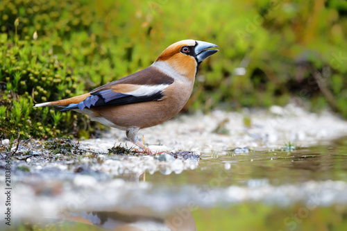 Fotografie, Obraz Hawfinch male drinking in the forest of Noord Brabant in the Netherlands