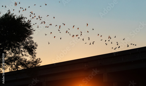 Canvas Print Mexican free-tailed bat in flight from the Yolo Bypass Wildlife Area in Davis CA