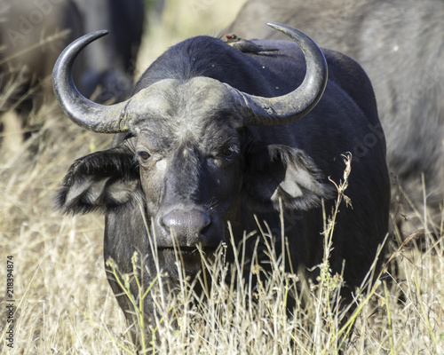 Cape Buffalo - Wildlife of The Great Lumpopo Transfrontier Park
