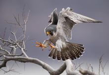 Peregrine Falcon On A Cliff