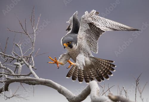 Photo  Peregrine Falcon on a Cliff