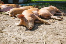 A Group Of Lazy Ginger Pigs Ly...