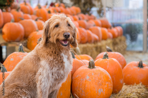 Foto  Cute golden labradoodle dog sitting in front of a bunch of pumpkins on a farm