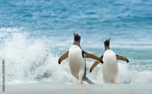 Spoed Fotobehang Pinguin Two Gentoo penguins coming ashore from Atlantic ocean