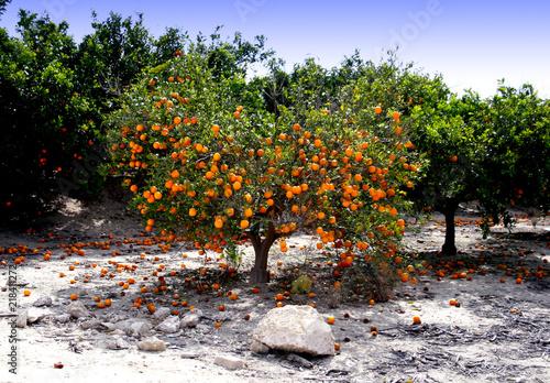 Valokuvatapetti Orange Trees