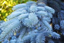 Spruce, Fir, Fir Tree, Blue, T...