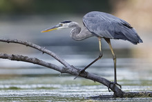 Great Blue Heron Stalking Its ...