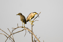 Adult Black-Crowned Night-Heron Perched Beside Its Young High On A Tree